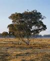 Teafa, Ausztrál